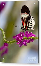 delicate Piano Key Butterfly Acrylic Print