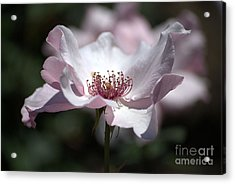 Delicate Pink Acrylic Print