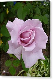 Acrylic Print featuring the photograph Delicate Purple Rose by Lingfai Leung