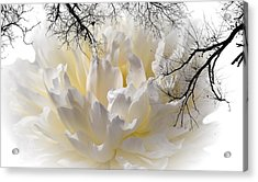 Delicate Acrylic Print by Sherman Perry