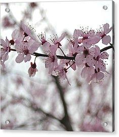 Delicate Spring Acrylic Print