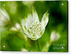 Delicate Spring Time Flower Acrylic Print