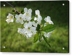 Delicate Springtime Acrylic Print by Ari Salmela