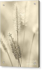 Delicate Sweetgrass Acrylic Print by Heiko Koehrer-Wagner