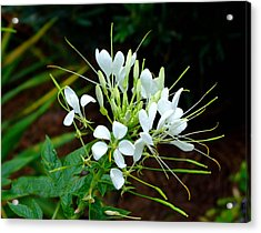 Delicate White Beauty  Acrylic Print by Judith Russell-Tooth