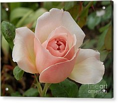 Delicately Pink Acrylic Print by Margaret McDermott
