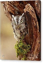 Delighted By The Eastern Screech Owl Acrylic Print by Inspired Nature Photography Fine Art Photography