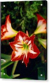 Delightful Amaryllis  Acrylic Print