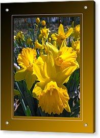 Delightful Daffodils Acrylic Print by Patricia Keller