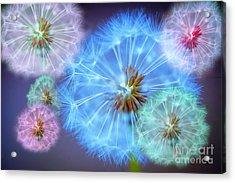 Delightful Dandelions Acrylic Print