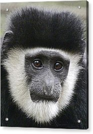 Demure Young Black And White Colobus Acrylic Print by Margaret Saheed