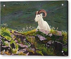 Denali Dall Sheep Acrylic Print by Mike Robles