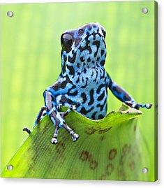 Dendrobates Pumilio Colubre Acrylic Print