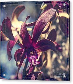 Dendrobium Black Spider Orchid Hawaii Acrylic Print