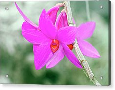 Dendrobium Glomeratum 'qingyu' Acrylic Print by Sam K Tran/science Photo Library