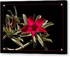 Desert Azalea Acrylic Print