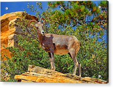 Acrylic Print featuring the photograph Desert Bighorn Sheep by Greg Norrell