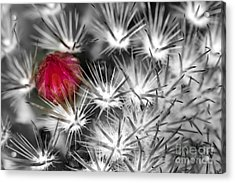 Desert Bloom Bw Acrylic Print by C Ray  Roth