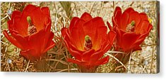 Desert Blooms Acrylic Print by Ben and Raisa Gertsberg