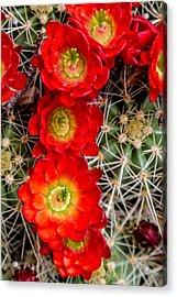 Desert Blooms Acrylic Print