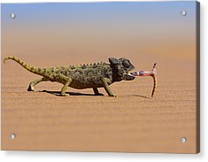 Desert Chameleon Catching A Worm Acrylic Print by Freder