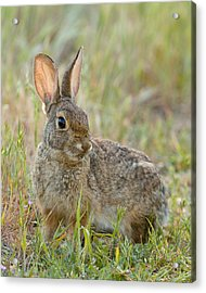 Acrylic Print featuring the photograph Desert Cottontail by Doug Herr