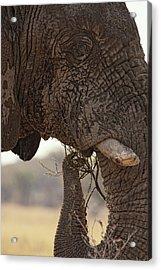 Desert Elephant Loxodonta Africana Acrylic Print