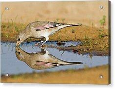 Desert Finch (carduelis Obsoleta) Acrylic Print by Photostock-israel