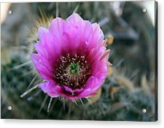 Desert Flower 1 Acrylic Print