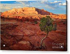 Desert Juniper Acrylic Print by Inge Johnsson