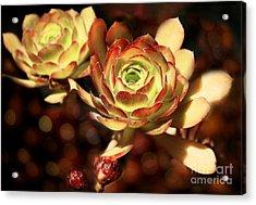 Desert Roses Acrylic Print