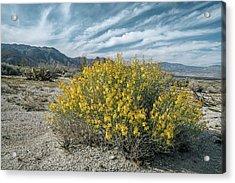 Desert Senna (senna Armata) In Flower Acrylic Print by Bob Gibbons/science Photo Library