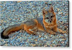 Desert White Foot Fox Acrylic Print by Wendy Clem