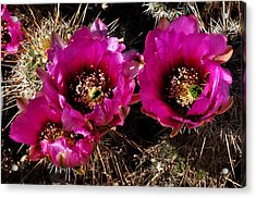 Desert Wildflower Acrylic Print by Diane Lent