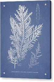 Desmarestia Ligulata Acrylic Print by Aged Pixel