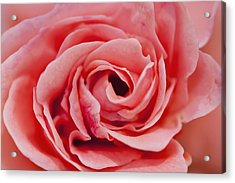 Detail Of Rose Flower Marrakech, Morocco Acrylic Print by Ian Cumming