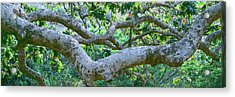 Detail Of Sycamore Tree In A Forest Acrylic Print