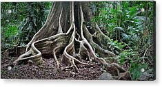 Detail Tree Roots Rain Forest Acrylic Print by Dirk Ercken