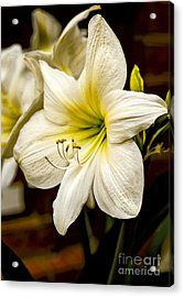 Detailed Amaryllis Acrylic Print by Dave Bosse