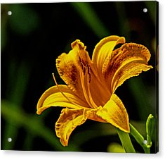 Detailed Lily Acrylic Print by Dave Bosse
