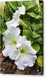 Detailed White Petunias Acrylic Print by Linda Phelps