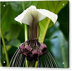 Devil Flower Acrylic Print by Andrew Chianese
