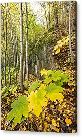 Devil's Club In Fall Acrylic Print