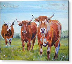 Devon Cattle Acrylic Print