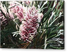 Dew Covered Grevillea Acrylic Print by Cassandra Buckley