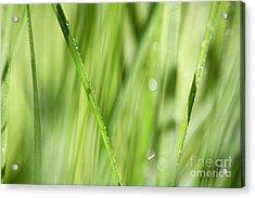 Dew Drops In Long Sunlit Grass Acrylic Print by Natalie Kinnear