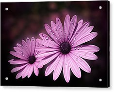 Dew Drops On Daisies Acrylic Print