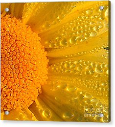 Acrylic Print featuring the photograph Dew Drops On Daisy by Terri Gostola
