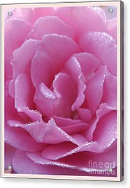 Dew Kissed Rose Acrylic Print by Sara  Raber
