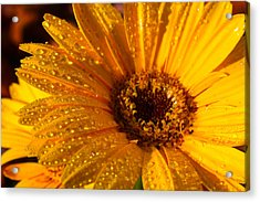 Acrylic Print featuring the photograph Dew On A Daisy by Richard Stephen